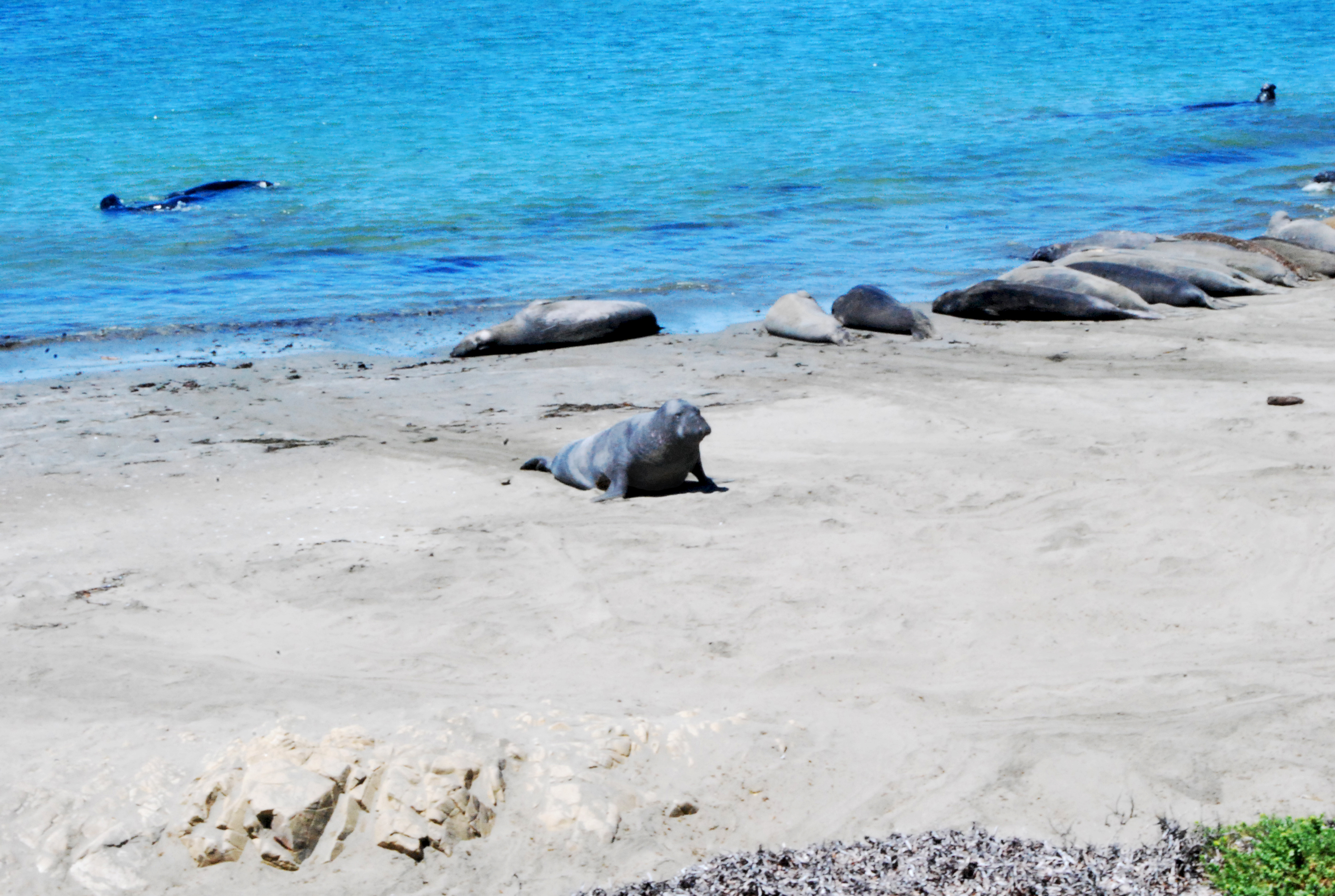 Seals on California State Route 1
